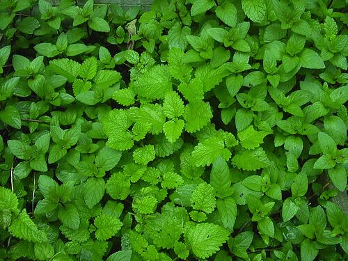 Лекарственные травы для очищения печени