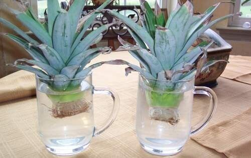 Как вырастить ананас дома