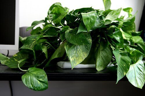 Растение потос для очистки воздуха в вашем доме